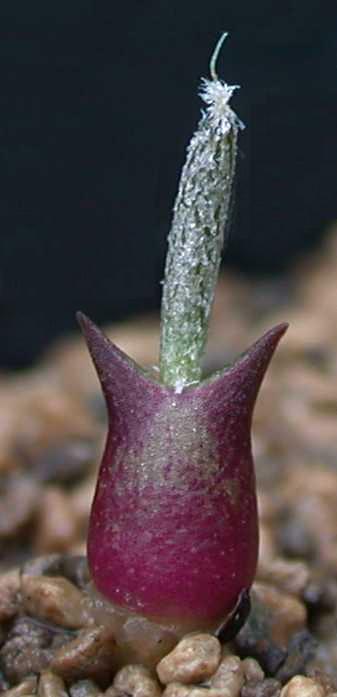 Astrophytum caput-medusae Cmkfok10