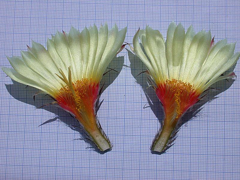 Astrophytum capricorne var. minor Dscn0512