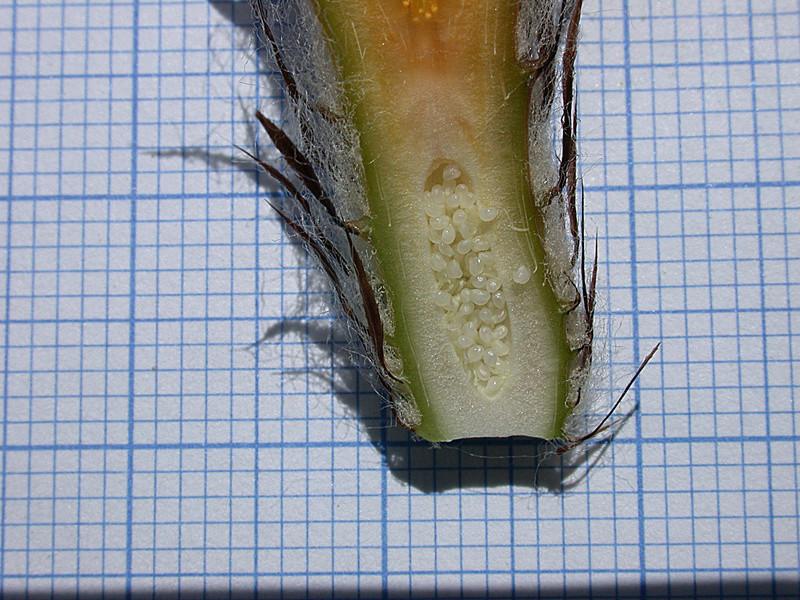 Astrophytum capricorne var. minor Dscn0513