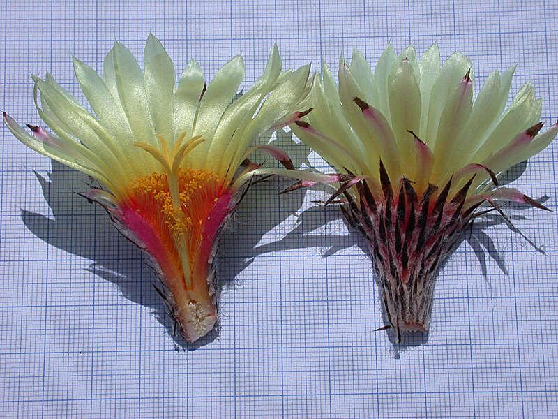 Astrophytum capricorne var. niveum Dscn0514