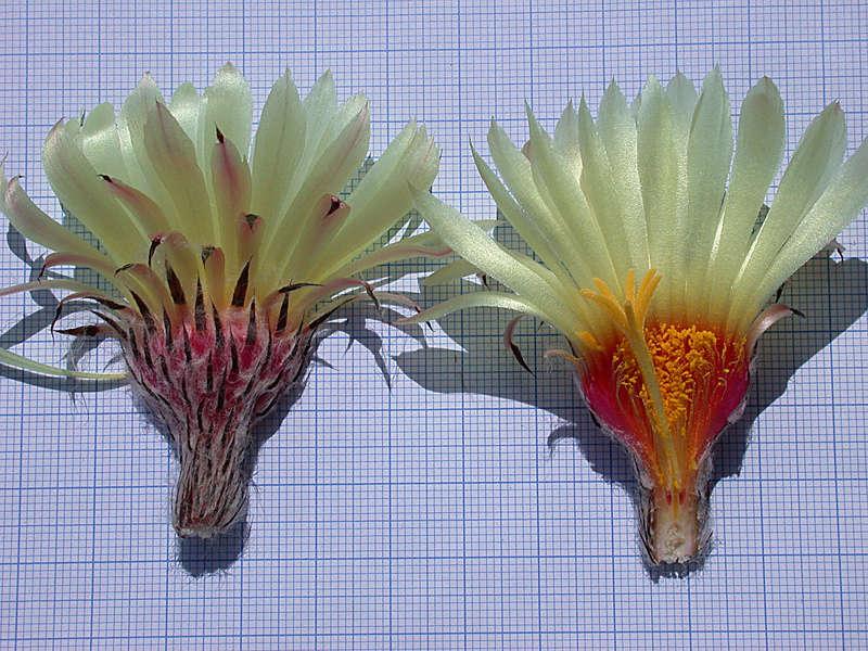 Astrophytum capricorne var. niveum f. nudum Dscn0519