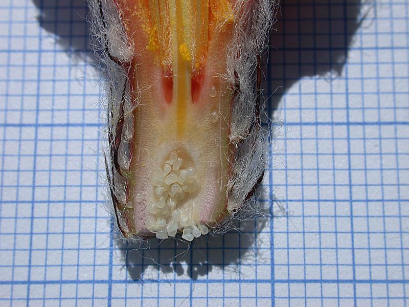 Astrophytum capricorne var. niveum f. nudum Dscn0520