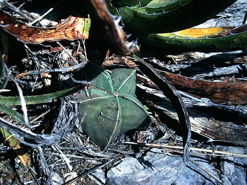 Astrophytum myriostigma var. nudum Dscn1013