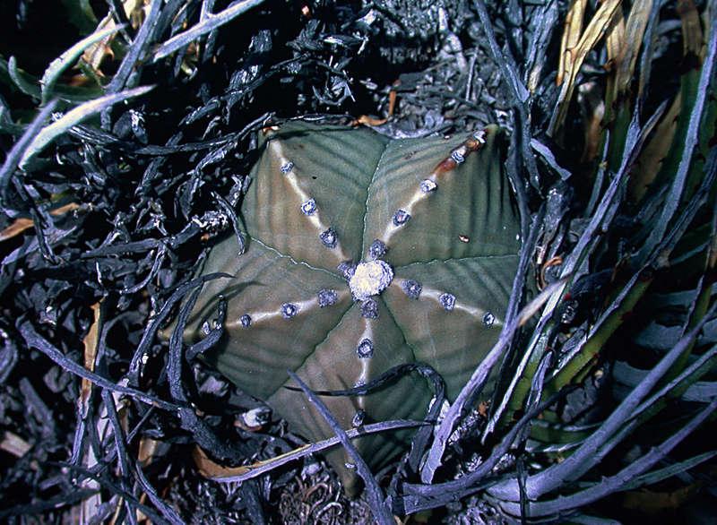 Astrophytum myriostigma var. nudum Dscn1015