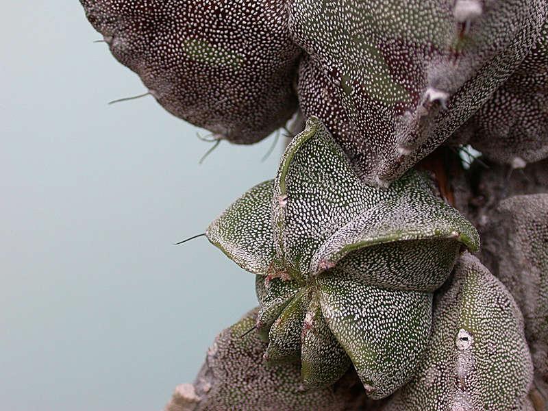 Astrophytum myriostigma subsp. tamaulipense Dscn1016