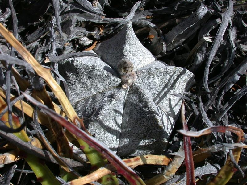 Astrophytum myriostigma subsp. tulense Dscn1113