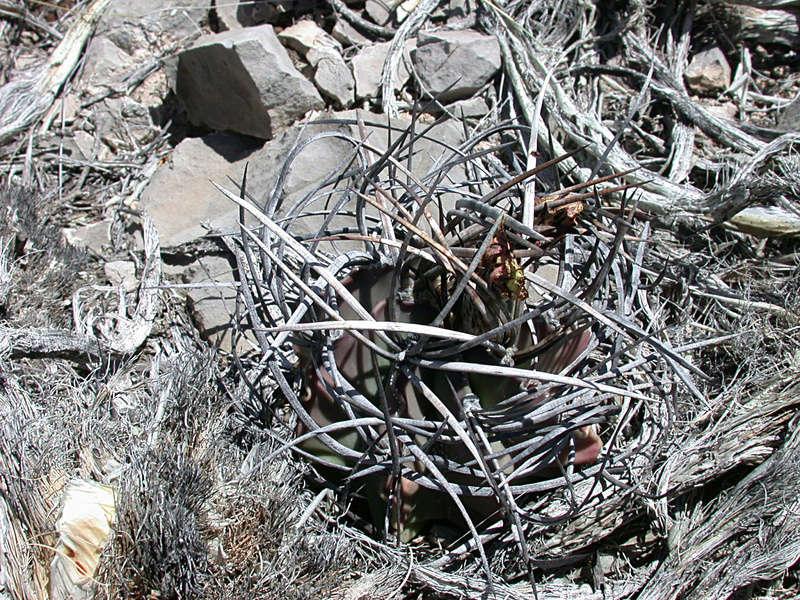 Astrophytum capricorne var. niveum f. nudum Dscn1214
