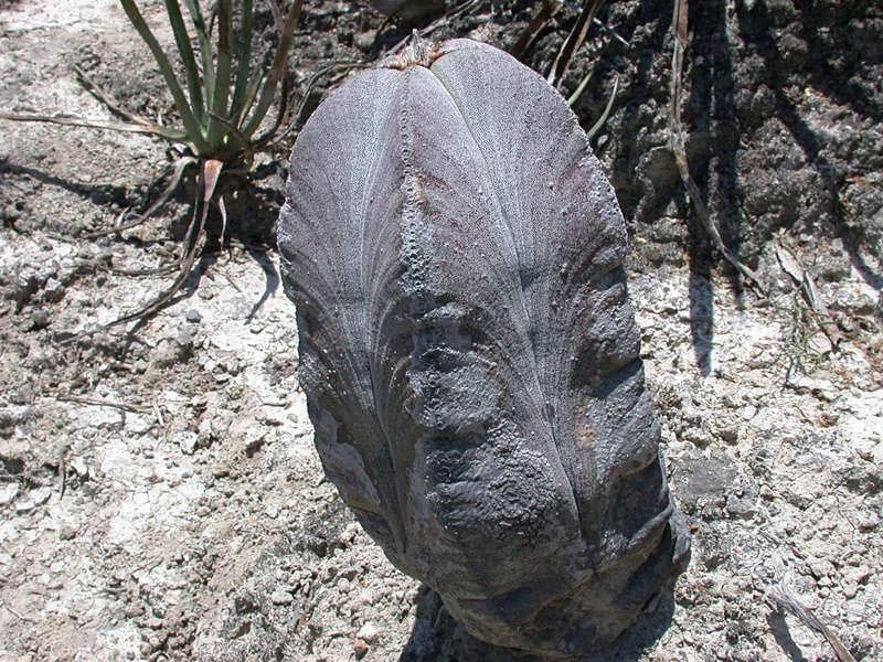 Astrophytum myriostigma subsp. tamaulipense Dscn1310