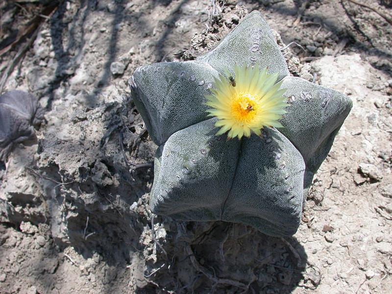Astrophytum myriostigma subsp. tamaulipense Dscn1311