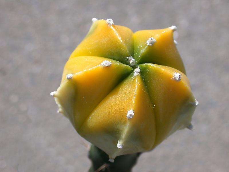 Cultivar Astrophytum myriostigma cv. variegata Dscn1711