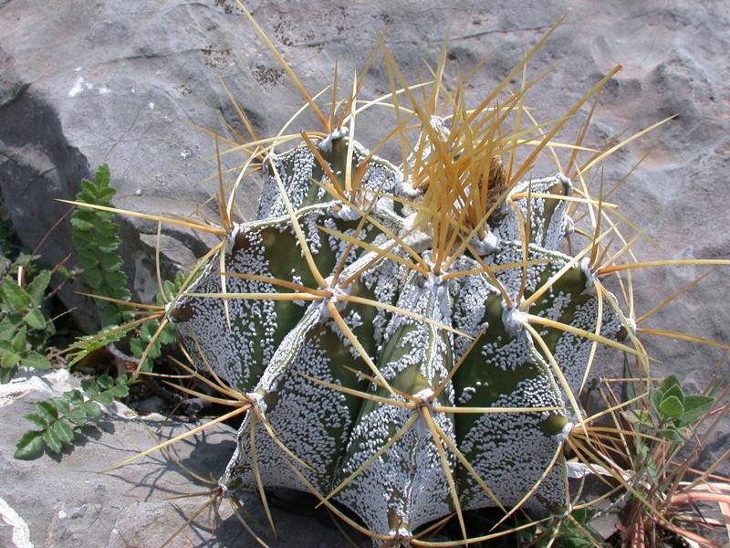 Astrophytum ornatum var. mirbelii Dscn2711