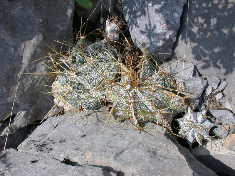 Astrophytum ornatum var. mirbelii Dscn2712