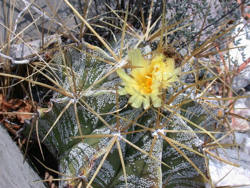 Astrophytum ornatum var. mirbelii Dscn2713