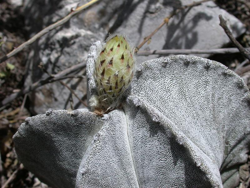 Astrophytum myriostigma subsp. tulense Dscn2813