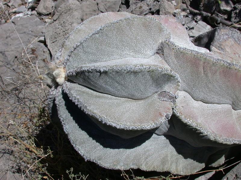 Astrophytum myriostigma subsp. tulense Dscn2815