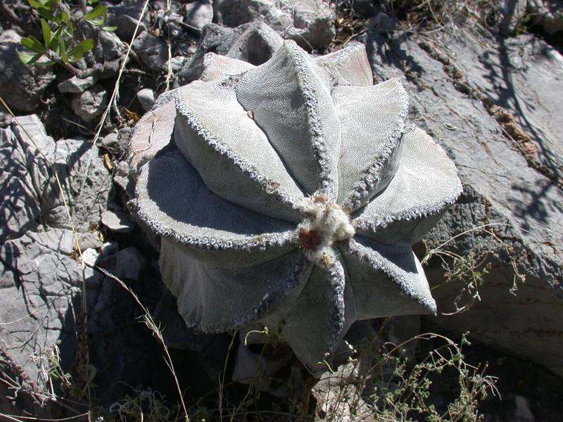 Astrophytum myriostigma subsp. tulense Dscn2816