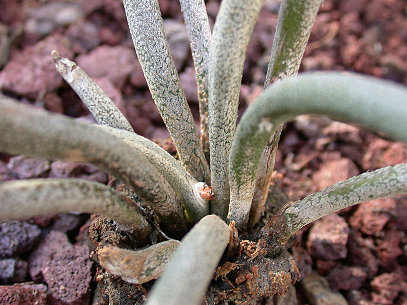 Astrophytum caput-medusae Dscn2914