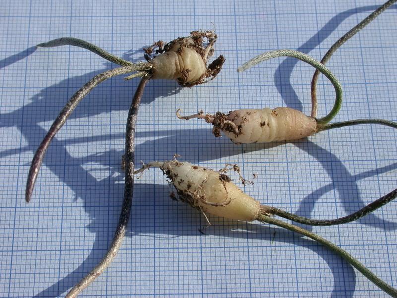 Astrophytum caput-medusae Dscn3410