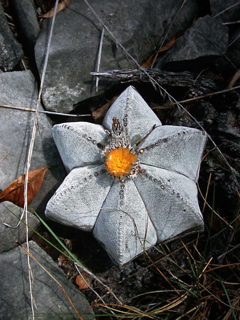 Astrophytum myriostigma subsp. tamaulipense Dscn3910
