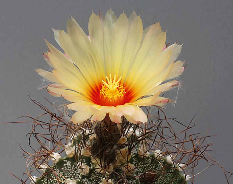 Astrophytum capricorne var. minor Img_0410