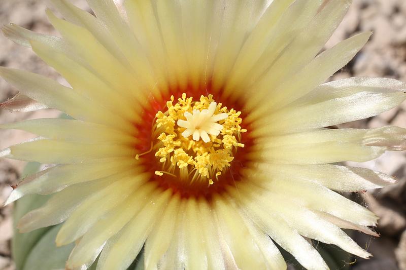 Cultivar Astrophytum asterias cv. nudum Img_0412