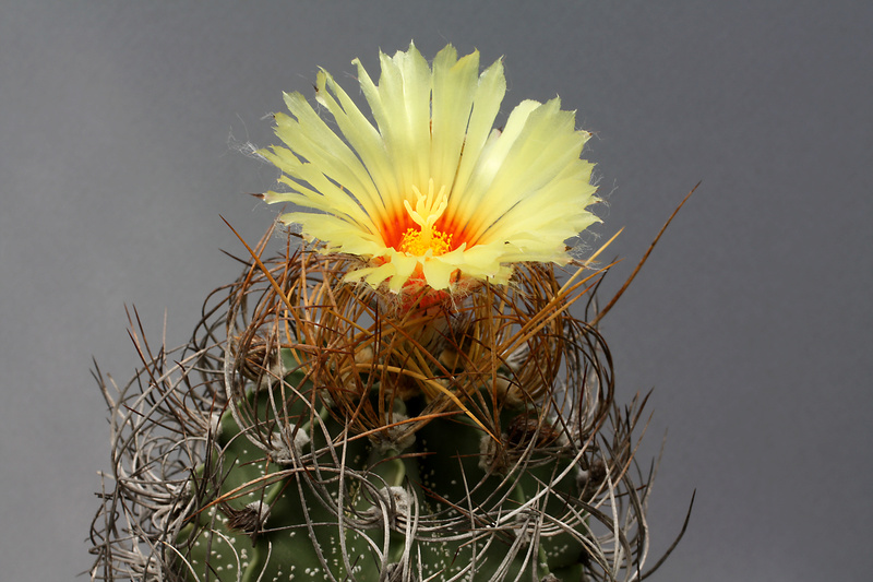 Astrophytum capricorne subsp. sanjuanense Img_0415