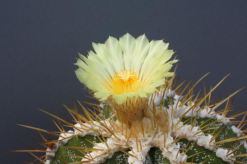 Astrophytum ornatum var. mirbelii Img_0510