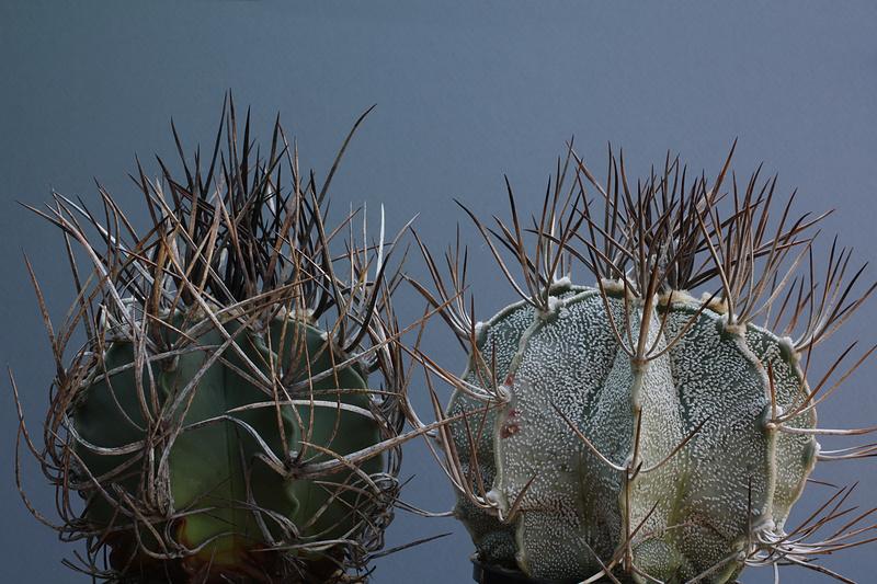 Astrophytum capricorne var. niveum f. nudum Img_0513