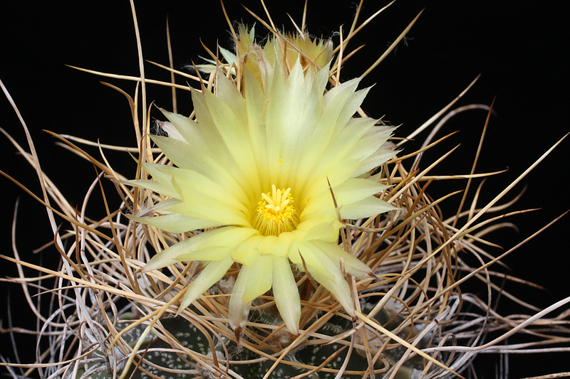 Astrophytum capricorne var. crassispinum Img_0710