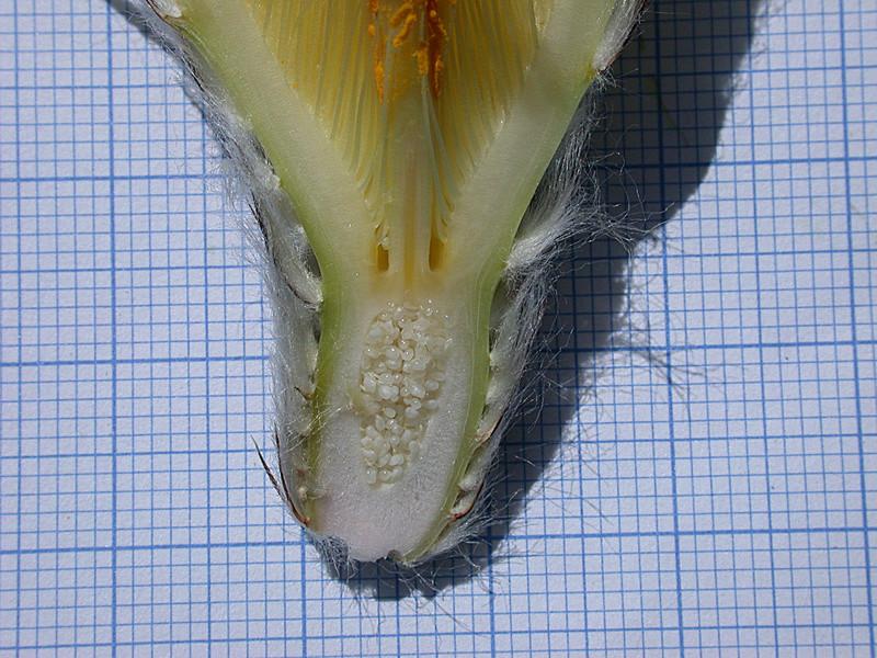 Astrophytum ornatum Or07kf10