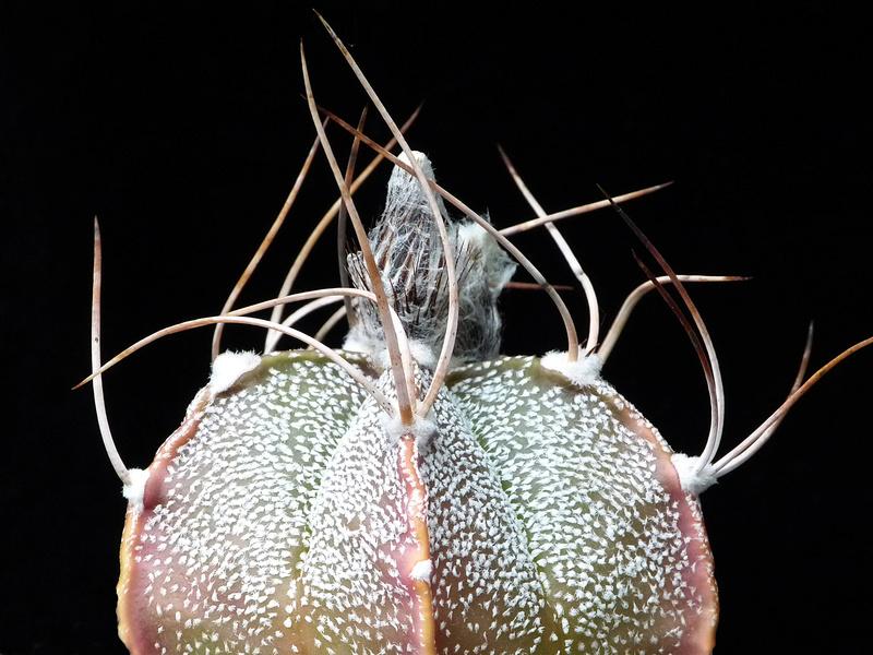 Hybride Astrophytum coahuilense x capricorne var. senile P1010610