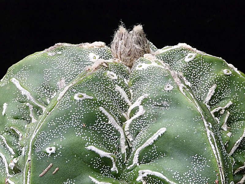 Cultivar Astrophytum myriostigma cv. Fukuryu P1010611