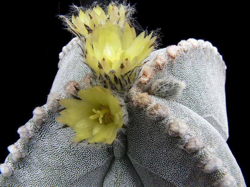 Astrophytum myriostigma subsp. tulense P1020410