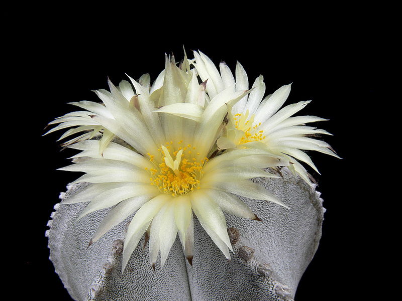 Astrophytum myriostigma subsp. tulense P1020513