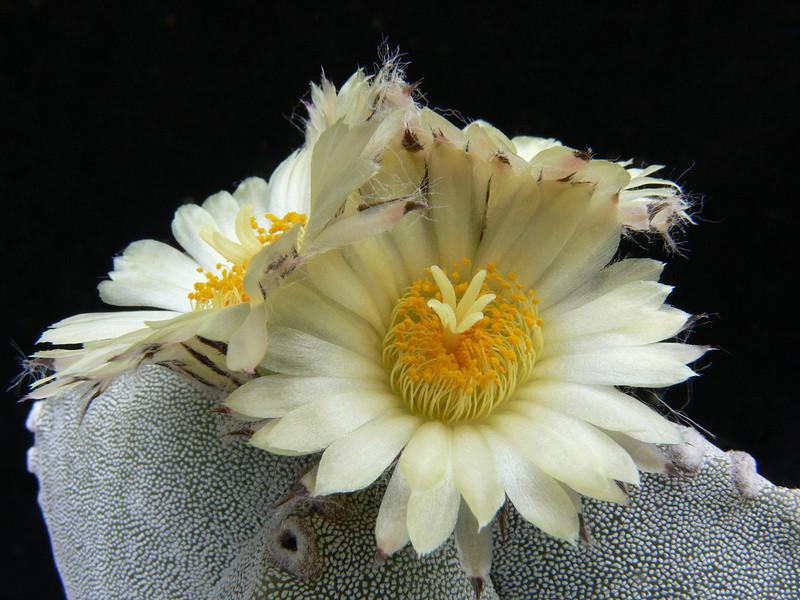 Astrophytum myriostigma subsp. tamaulipense P1020514