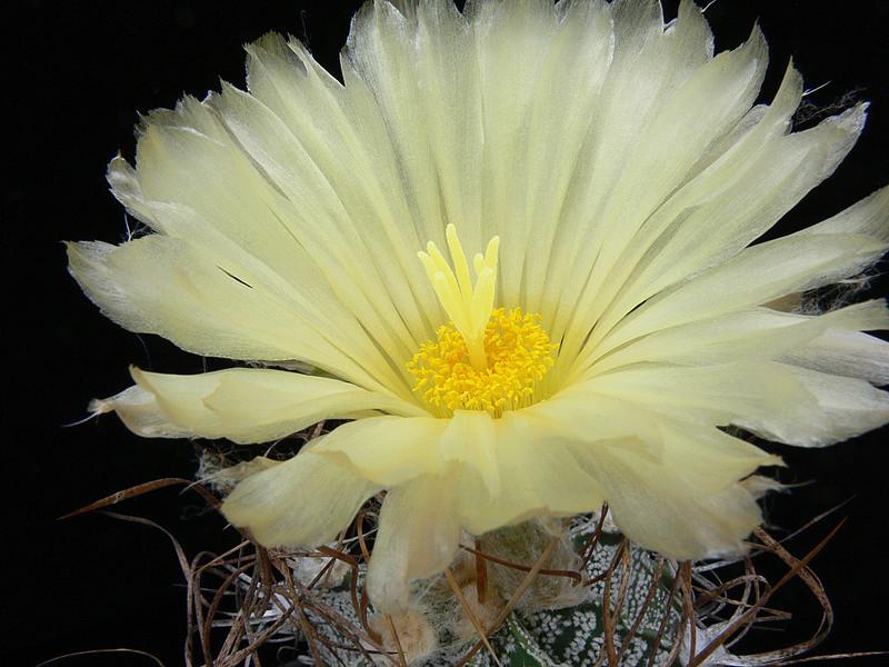 Cultivar Astrophytum capricorne cv. crassispinoides P1020517