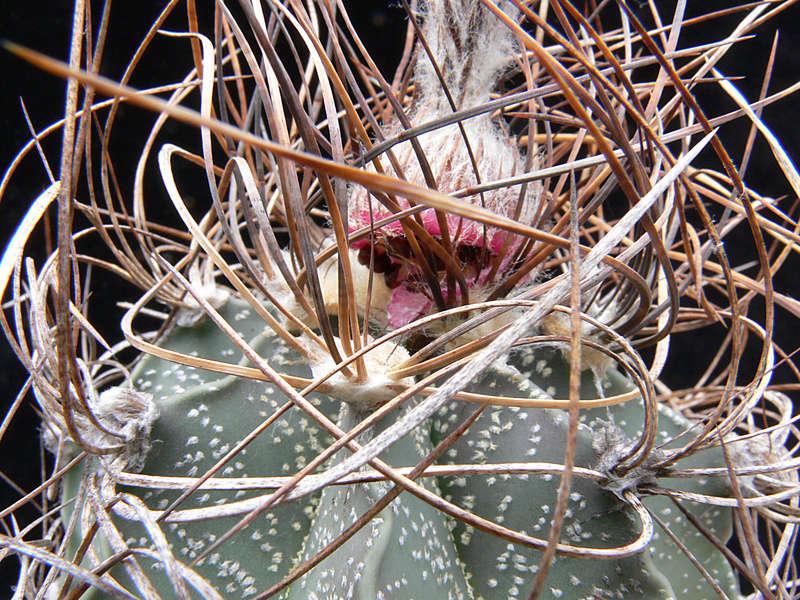 Astrophytum capricorne var. crassispinum P1020611