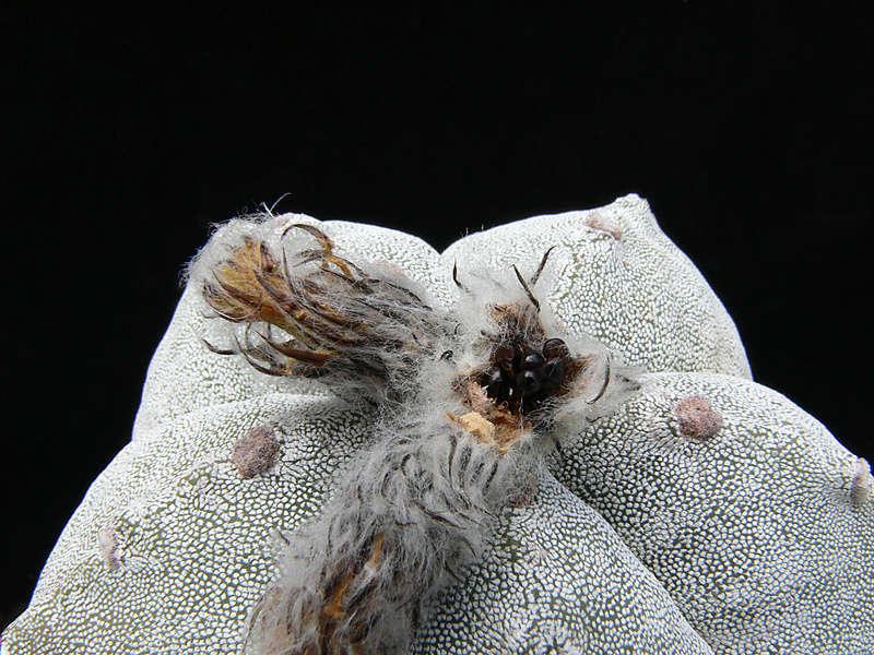 Astrophytum myriostigma var. myriostigma P1020612