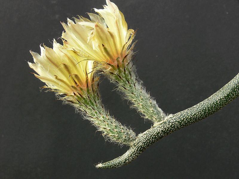 Astrophytum caput-medusae P1020613