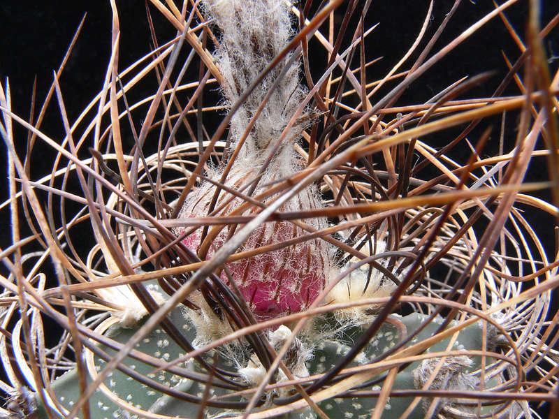 Astrophytum capricorne subsp. sanjuanense P1020614