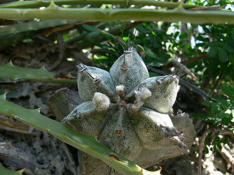 Astrophytum myriostigma subsp. tamaulipense P1030410