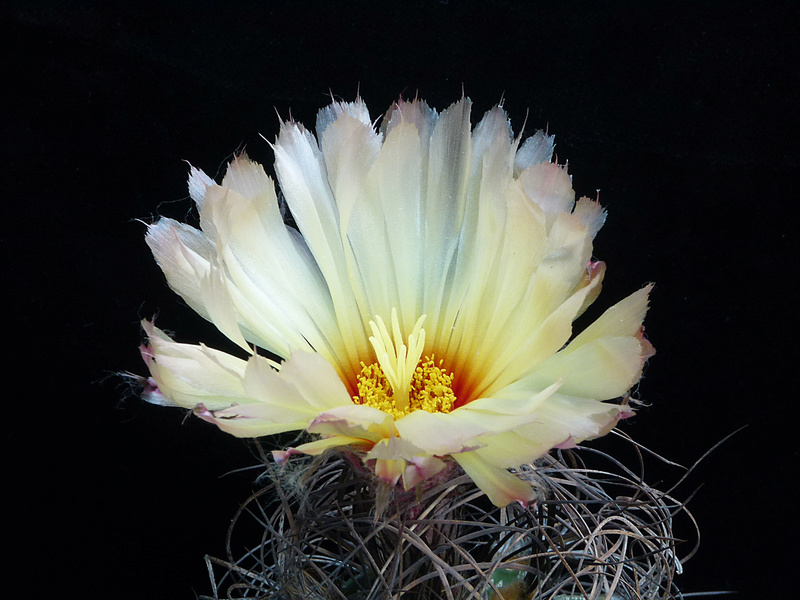 Astrophytum capricorne var. minor P1040610