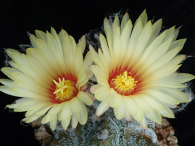 Hybride Astrophytum coahuilense x capricorne var. senile P1040614