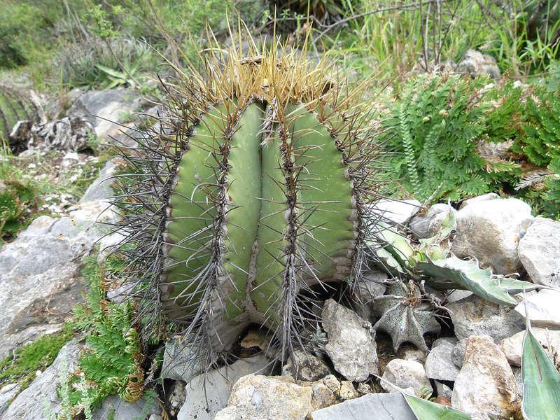 Astrophytum ornatum P1040811