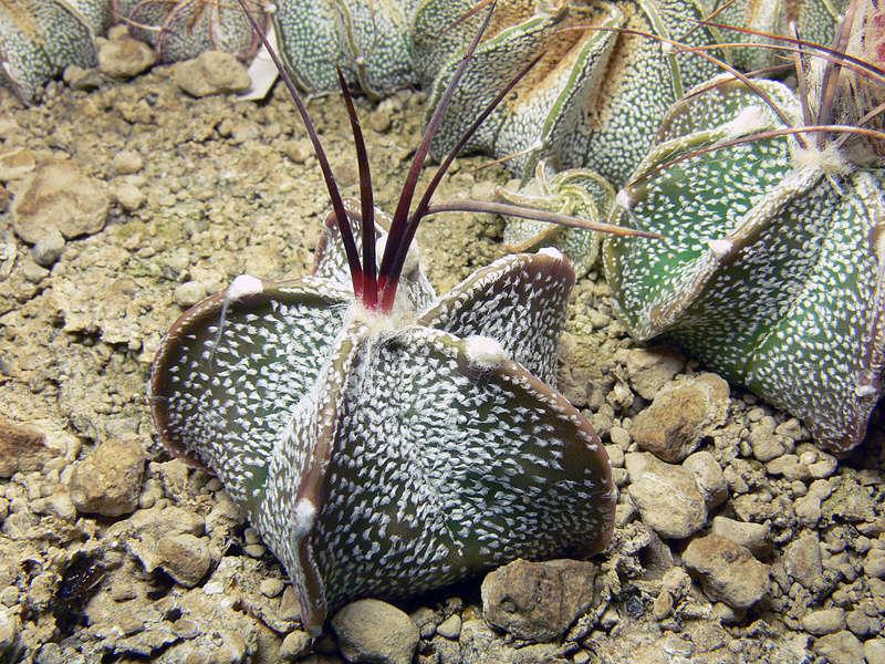 Hybride Astrophytum coahuilense x capricorne var. senile P1050013