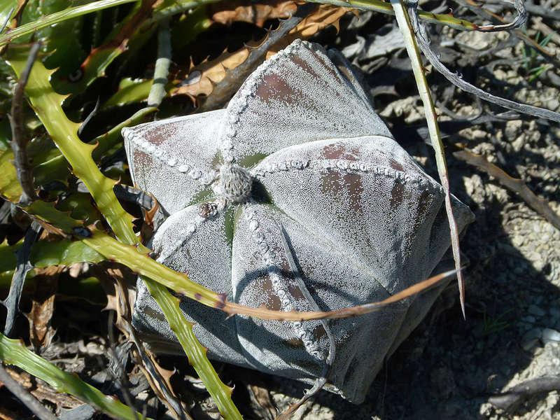 Astrophytum myriostigma subsp. tamaulipense P1050313