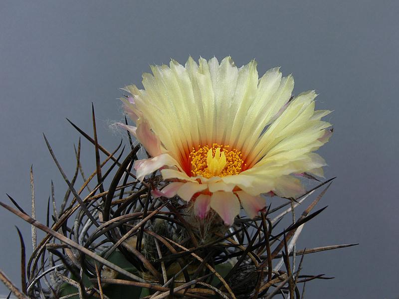 Astrophytum capricorne var. niveum f. nudum P1050510