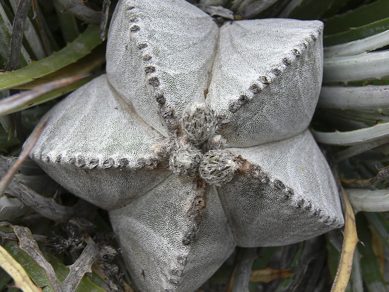 Astrophytum myriostigma subsp. tulense P1050714