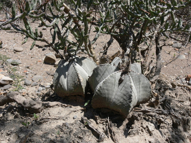 Astrophytum myriostigma subsp. tamaulipense P1050718