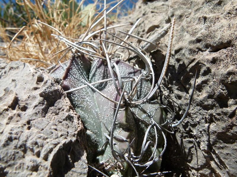 Astrophytum capricorne var. crassispinum P1060010